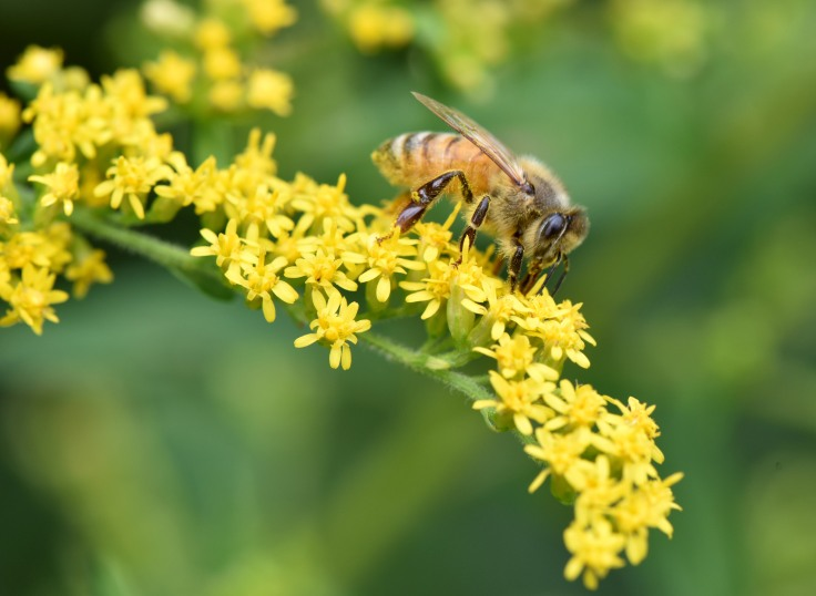 We anticipate the next generation of this Honeybee on Goldenrod will be stronger and more resilient so they can help us humans survive.