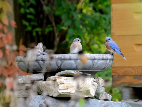 We anticipate that the Eastern Bluebird which has stayed put with us in the last couple of winters, will bring up more kids, enjoy their communal bath and help rid us of pests. We hope they will continue being our state bird for eons to come since their population has increased in recent years.