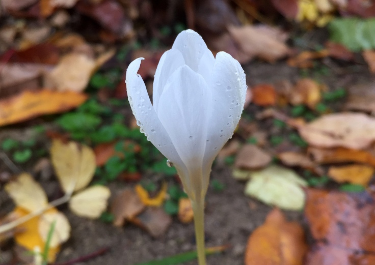 This Crocus blooms in autumn. Not many of them left from squirrels and chipmunks scavenging.