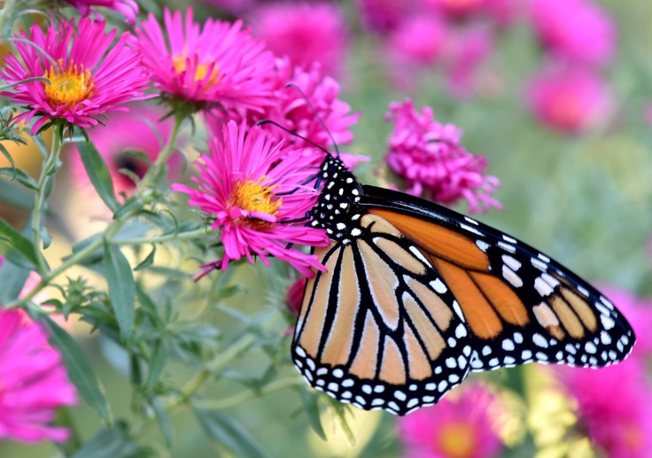 We anticipate that more Monarch butterflies will be back next year as we have plenty of Milkweed and late summer flowers for them to feed on before they travel back south for their winter hibernation. We hope that children will get to see them in real life, not just on screen, for many more years to come.