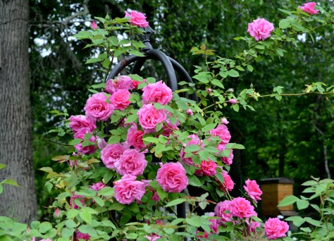Zephirine Drouhin is never a disappointment. It blooms heavily at first then continues to bloom here and there until autumn.