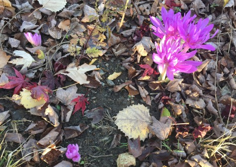 Waterlily Colchicum flowers among autumn leaves