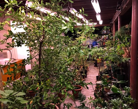 Basement garden- with Kaffir lime in the foreground. The tropical plants reside here under plant lights during winter