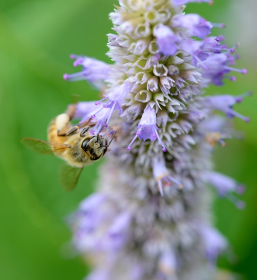 Anise hyssop is everyone favorite-bees, wasps, butterfly and I.