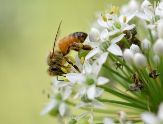 This is a honey bee favorite, Garlic chive. The flower is edible with strong chive flavor. Sometime I wonder if it will make honey smell and taste like chive