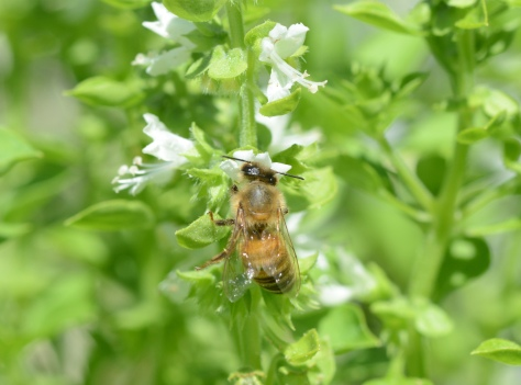 Globe or Greek basil has very strong flavor for a very small basil. I let some flower and draw a lot of bees in