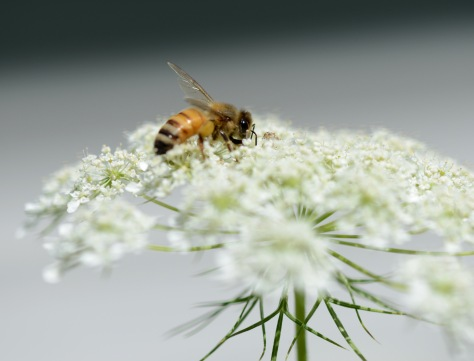 Queen Anne's Lace is loved by many pollinators
