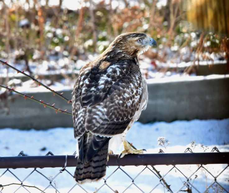 A Broad-winged hawk, probably the dove tormentor. He has al most three feet wingspan