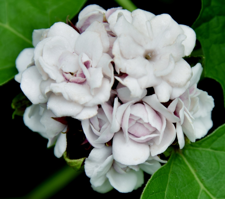 A clustered bouquet of pale pink fragrant flower at the top of the plant