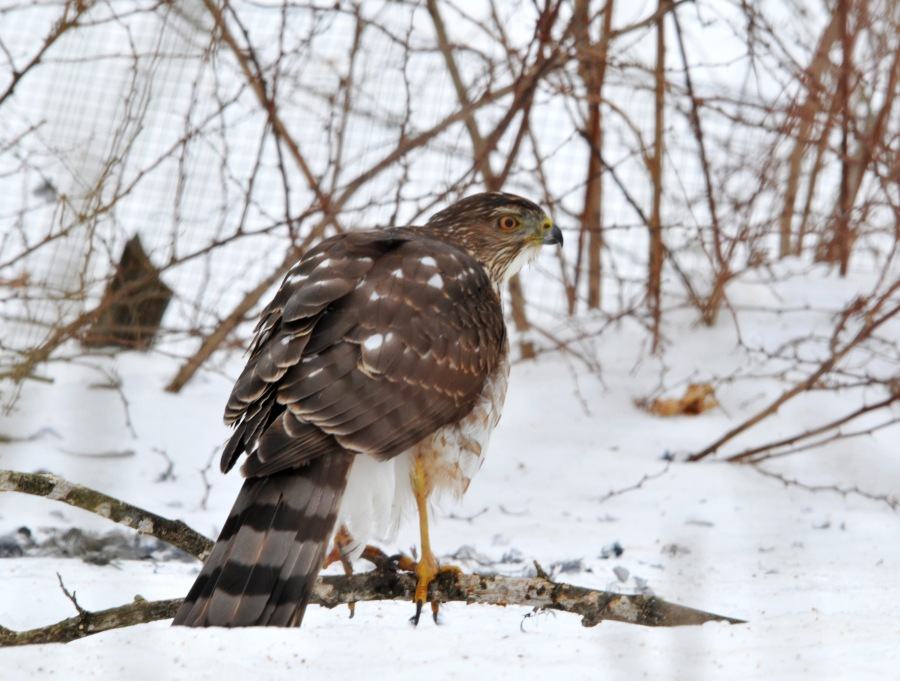 Cooper's hawk has much longer tail. This image is from a couple of years ago when I caught him in the act of dismantle a bird.