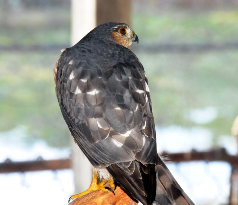 One of the Cooper's hawk decided that our kitchen is also his kitchen; he hang out on the woodpile outside the kitchen.
