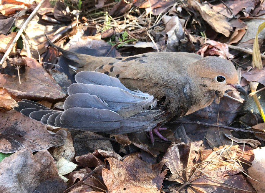 The injured Mourning Dove with one wing badly mangled but lucky enough to escape.