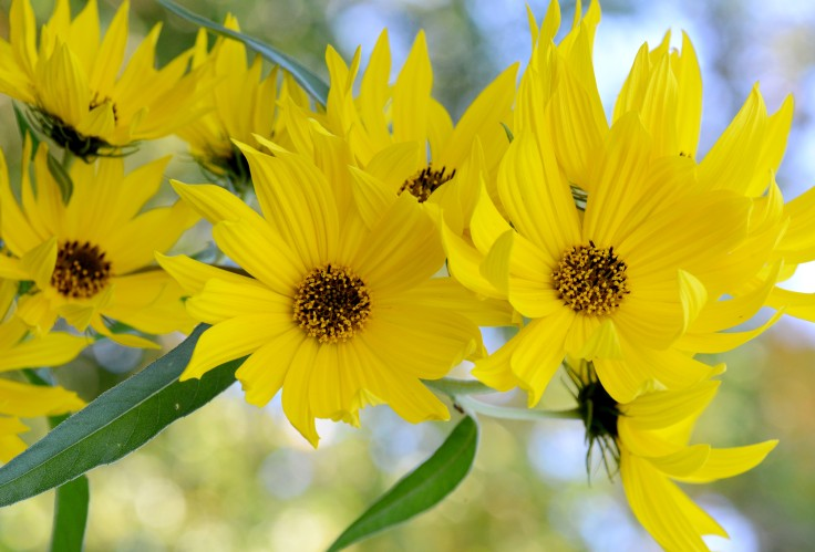 Maximillian's sunflower 'Santa Fe' is a perennial that can grow over 6 feet tall and produce plenty of flowers on each stem