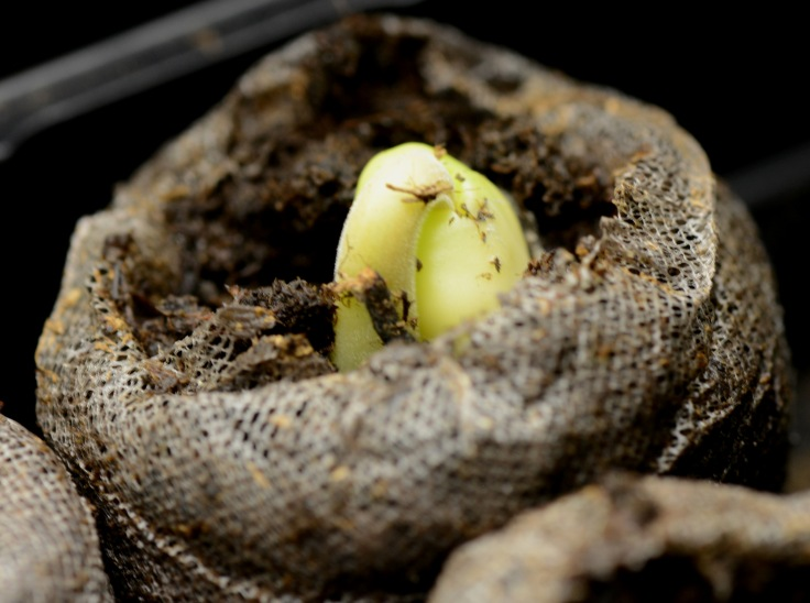 Tamarind seedling sprout up within two weeks