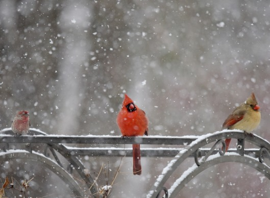 A pair of Cardinal and a House finch waiting their turn in snow