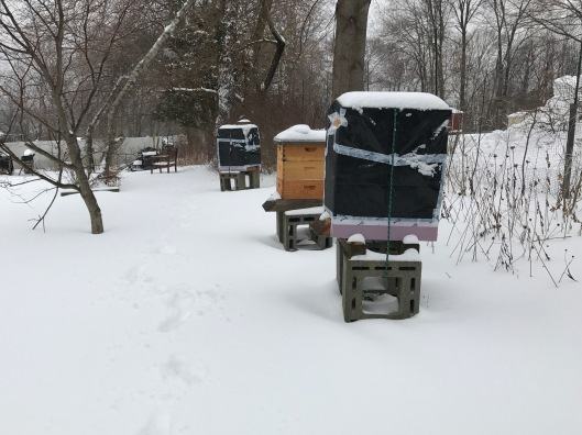 Beehives, all wrapped up, amid snow when we left for vacation. Due to lack of storage, we left empty supers out in the garden, unwrapped.
