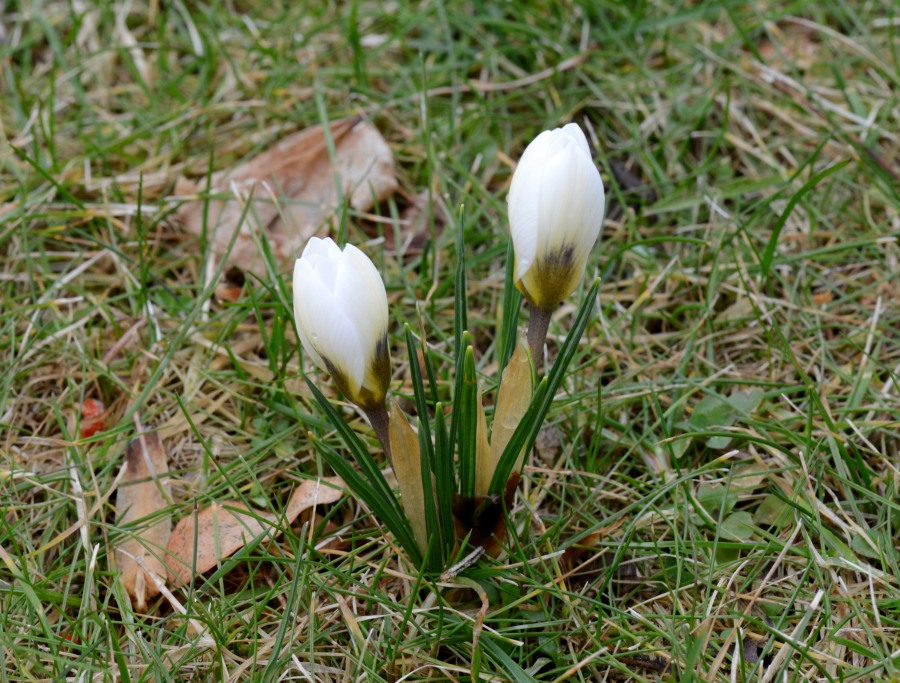 Many of over 200 crocuses we put randomly in the lawn last autumn have blossomed.
