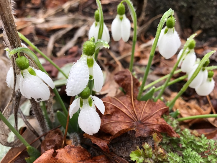Plenty of Snowdrops pushed themselves through mulch leaves