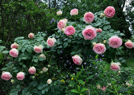 Love Garden Roses: Backyard Nature Lover's Experience