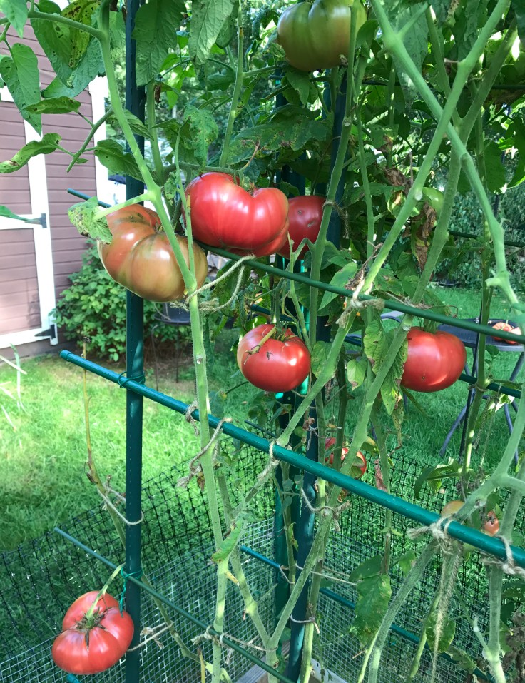 "Picture of Live Mortgage Lifter Tomato JB Vegetables Plant Fit 4"" Pot"
