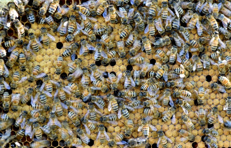 Bee-brood