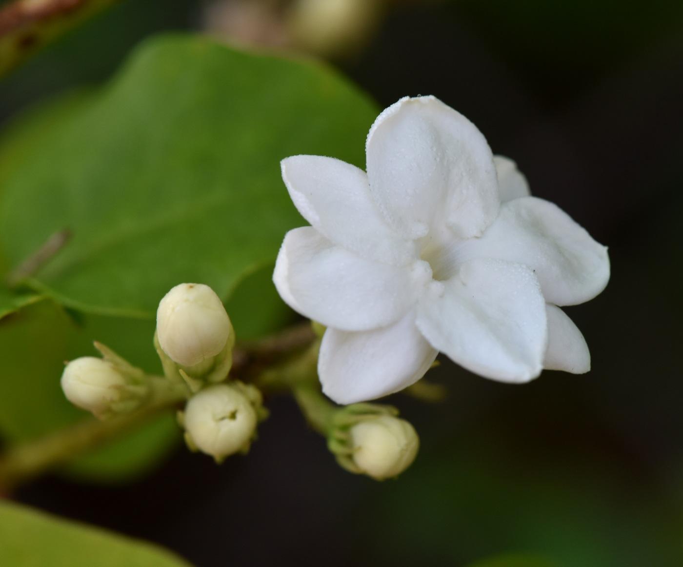 Growing Jasmine Petals And Wings