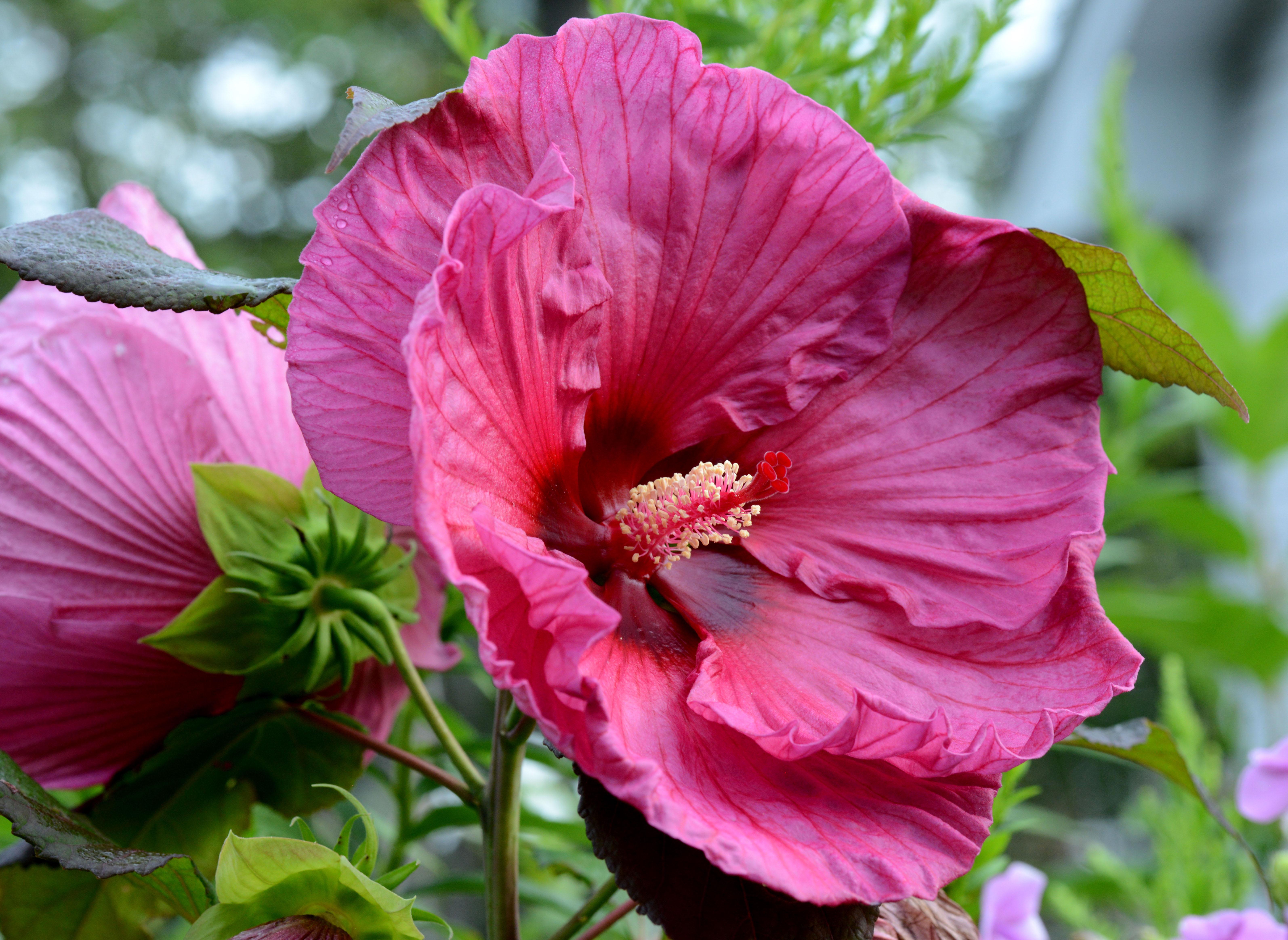 Hibiscus-Plum Crazy