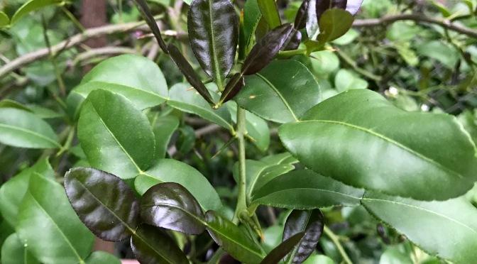 Repotting Kaffir Lime